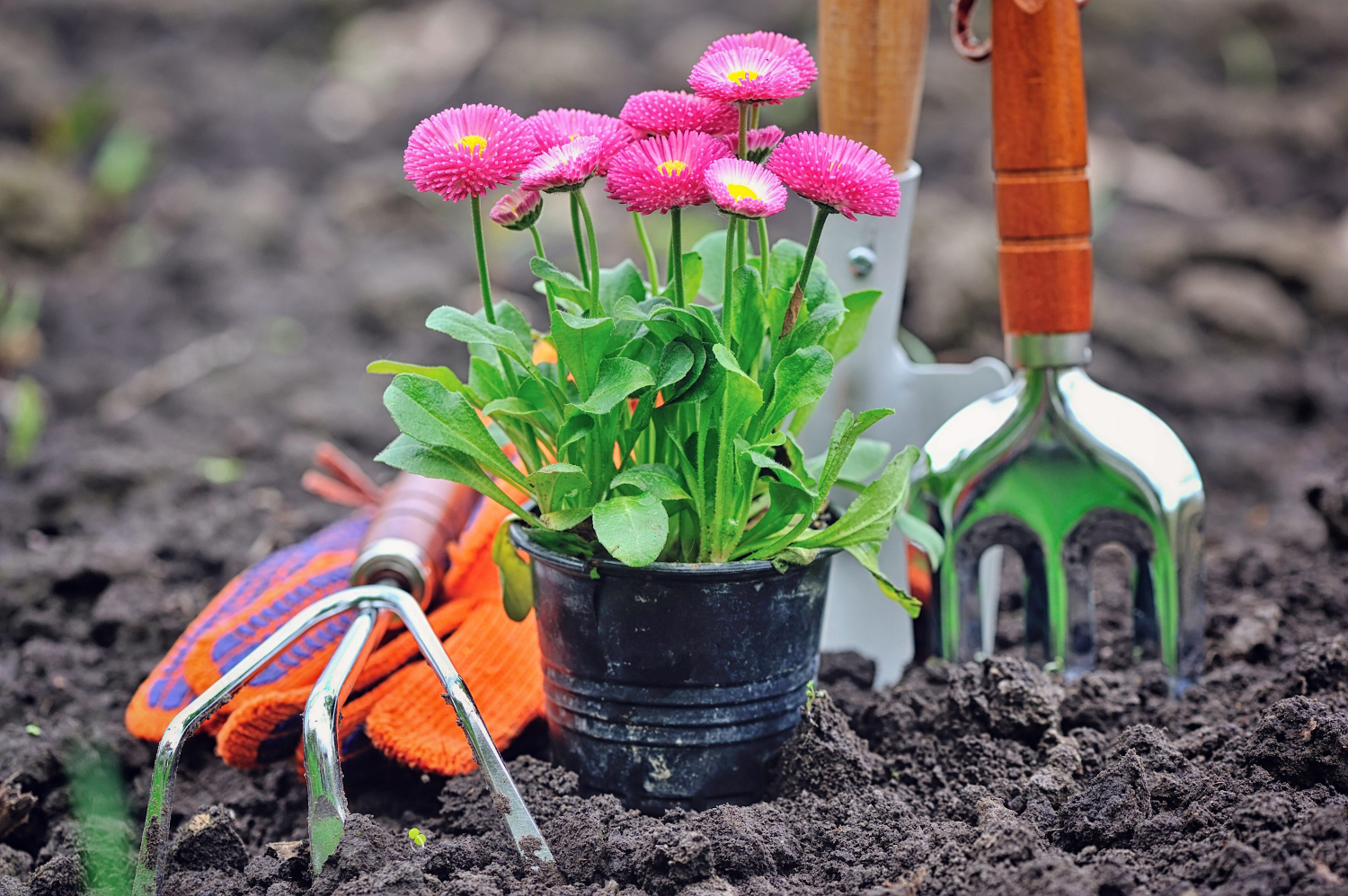 Beautiful marguerite flowers and garden tools